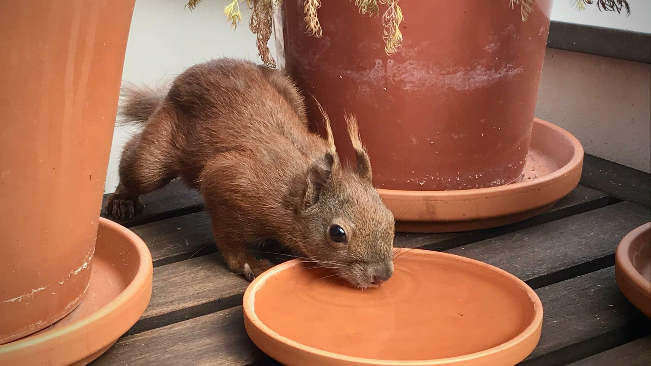 Eichhörnchen beim Trinken