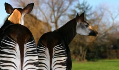 zwei Okapis