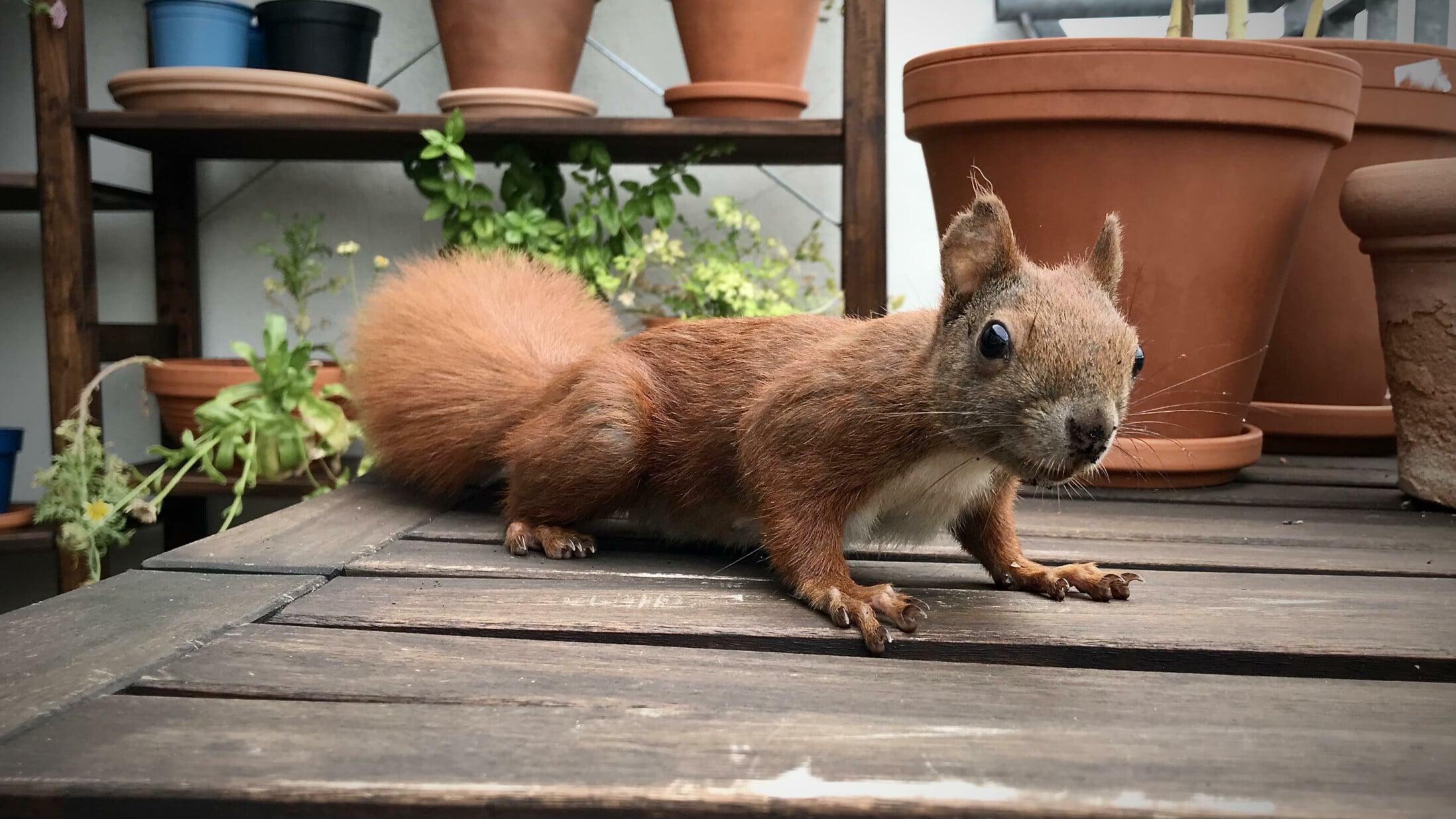 Eichhörnchen auf Holztisch