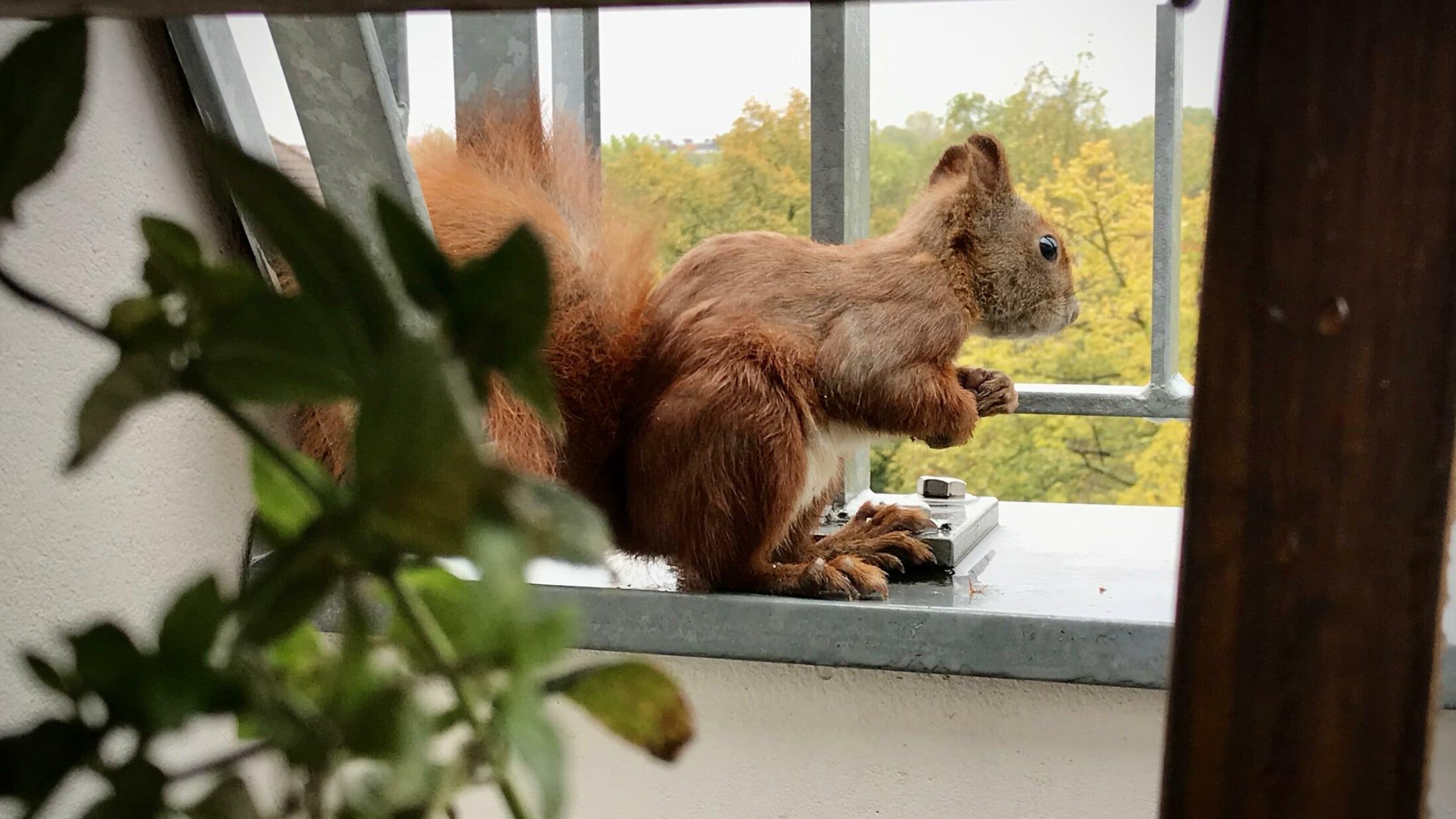 Eichhörnchen blickt vom Balkon
